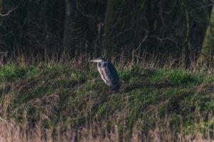 meadow birds